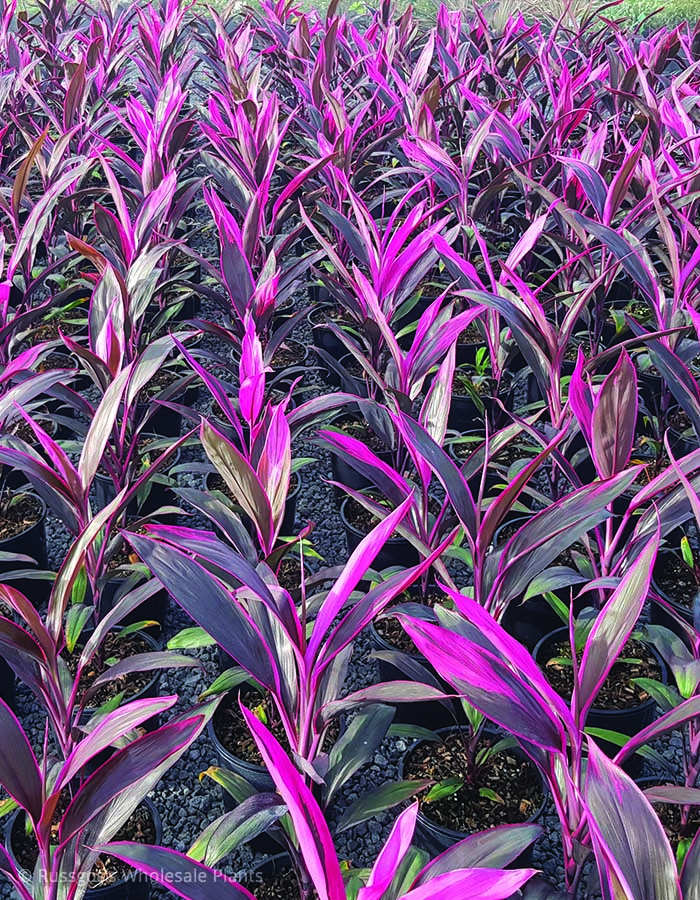 Cordyline Ruby