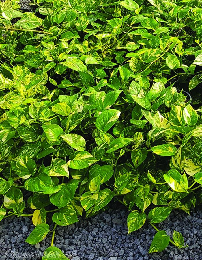 Epipremnum Devils Ivy