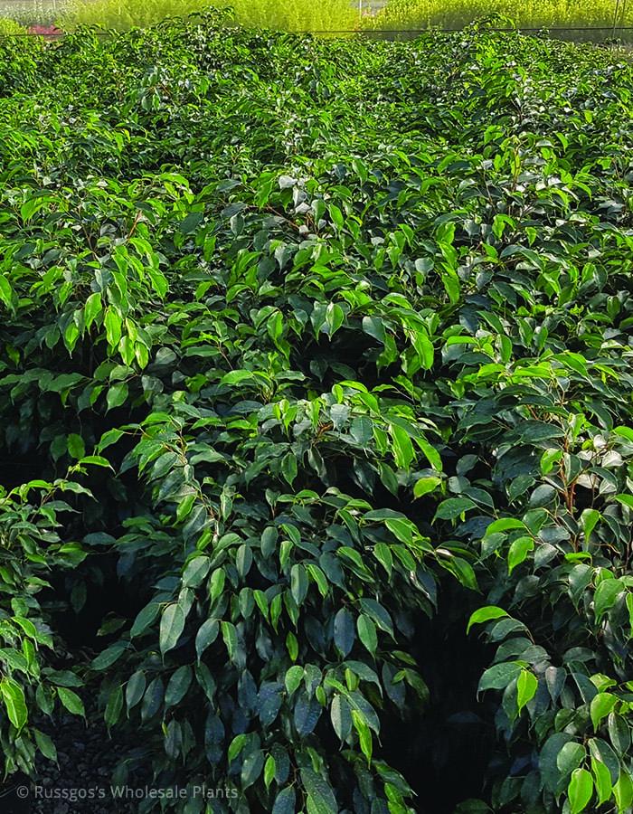 Ficus Midnight Beauty