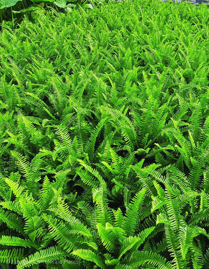 Nephrolepis Kimberly Queen